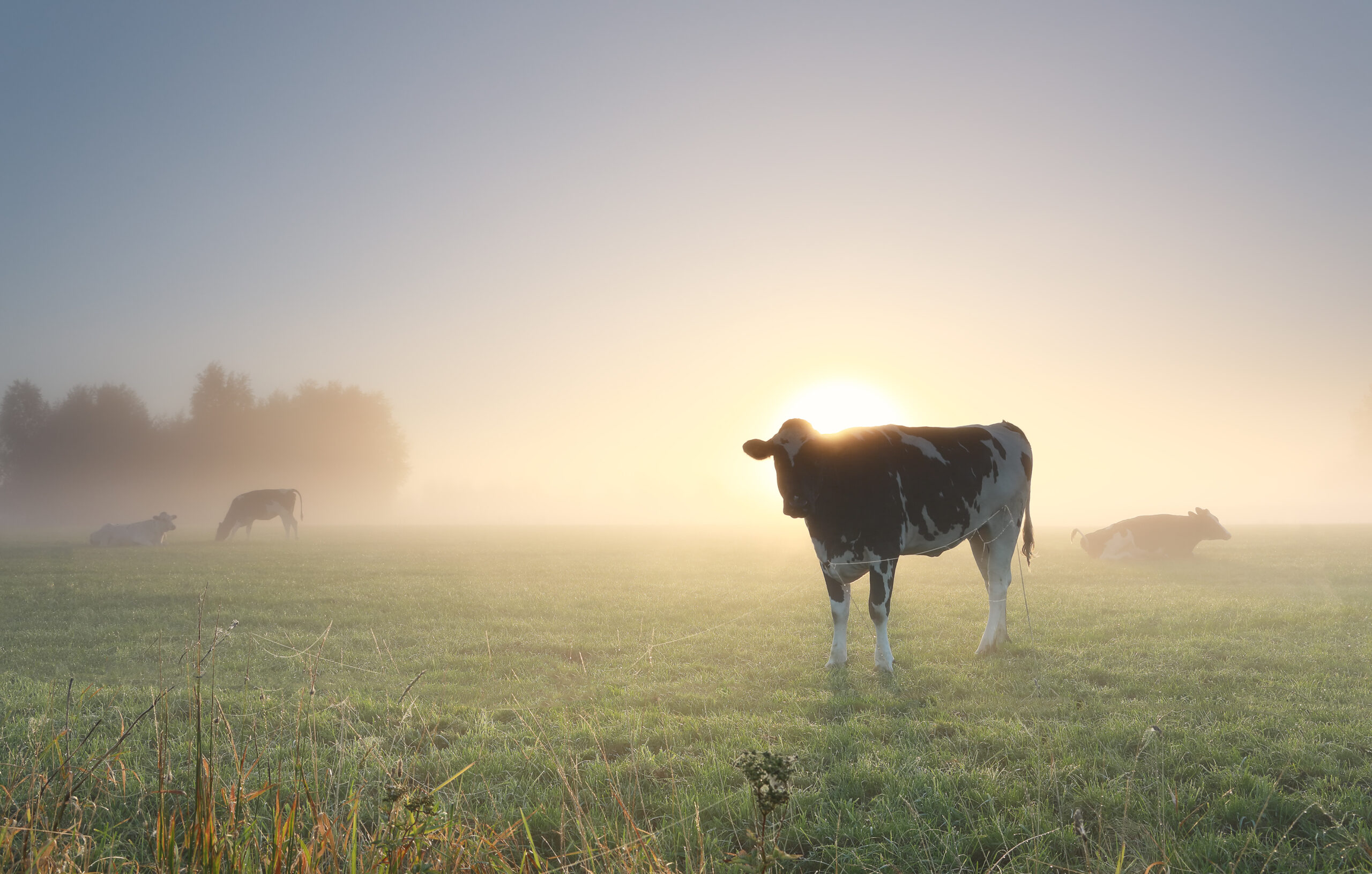 cows grazing on misty pasture at dawn in summer